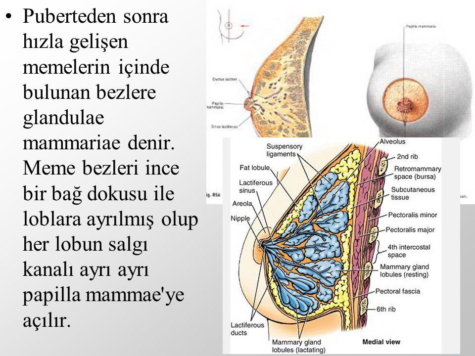 Puberteden sonra hızla gelişen memelerin içinde bulunan bezlere glandulae mammariae denir.