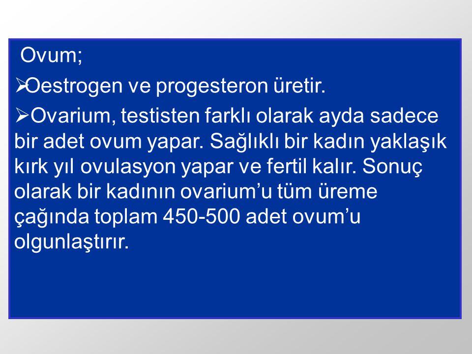 Ovum; Oestrogen ve progesteron üretir.