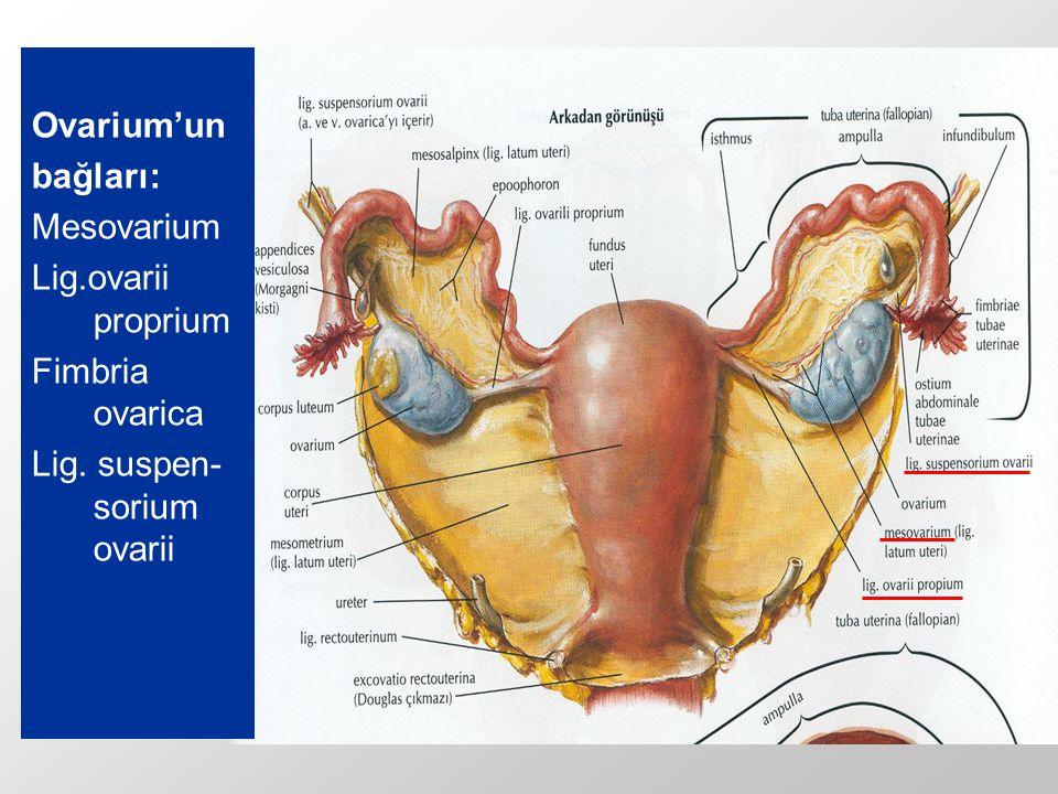 Ovarium'un bağları: Mesovarium Lig.ovarii proprium Fimbria ovarica Lig. suspen-sorium ovarii