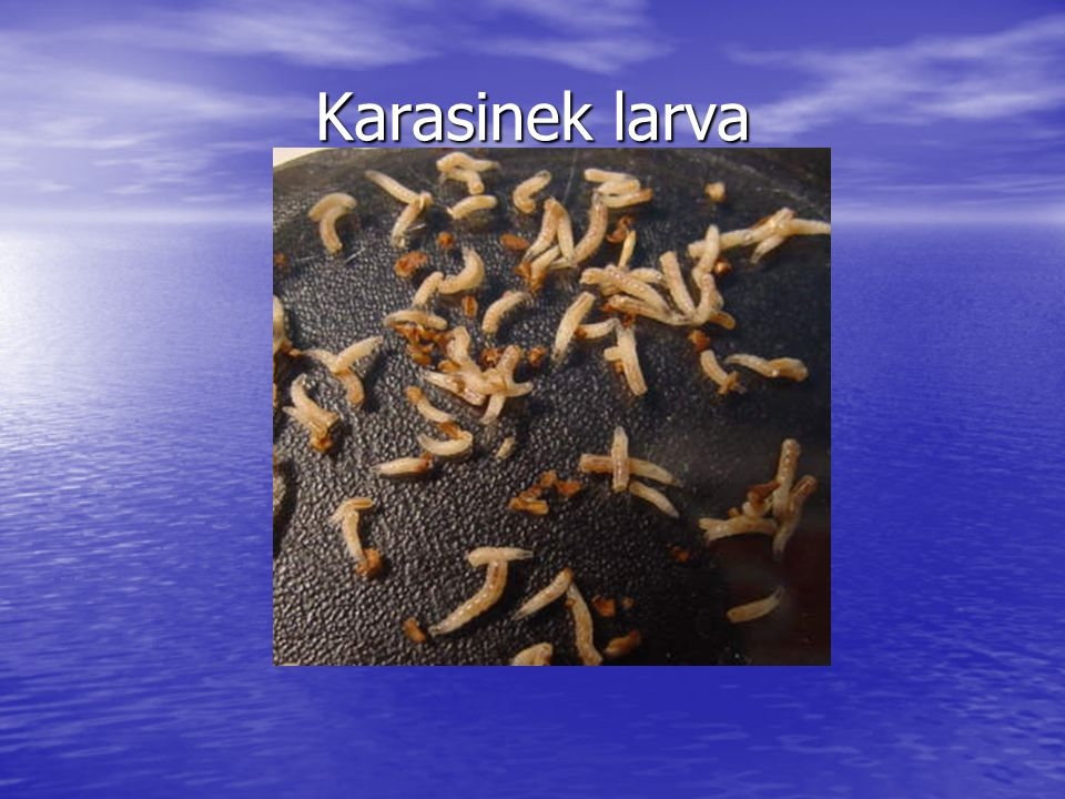 Karasinek larva
