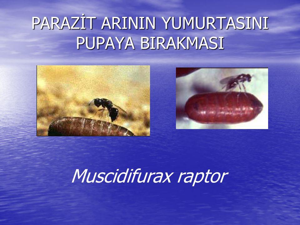 PARAZİT ARININ YUMURTASINI PUPAYA BIRAKMASI
