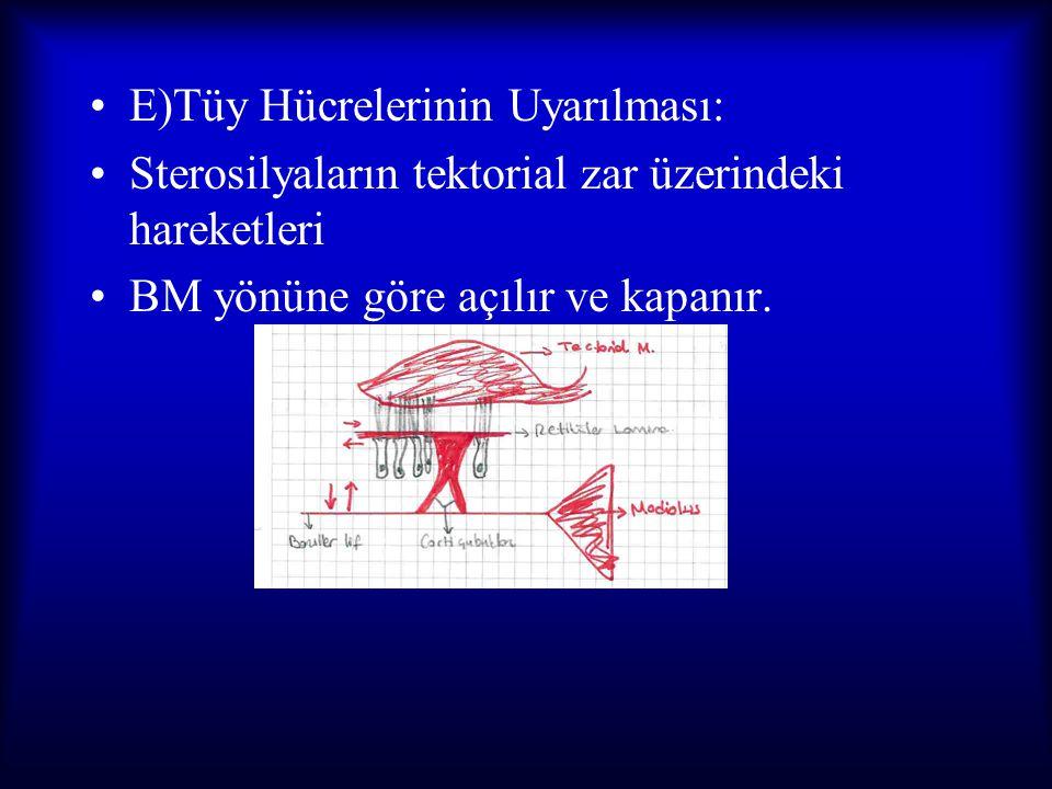 E)Tüy Hücrelerinin Uyarılması: