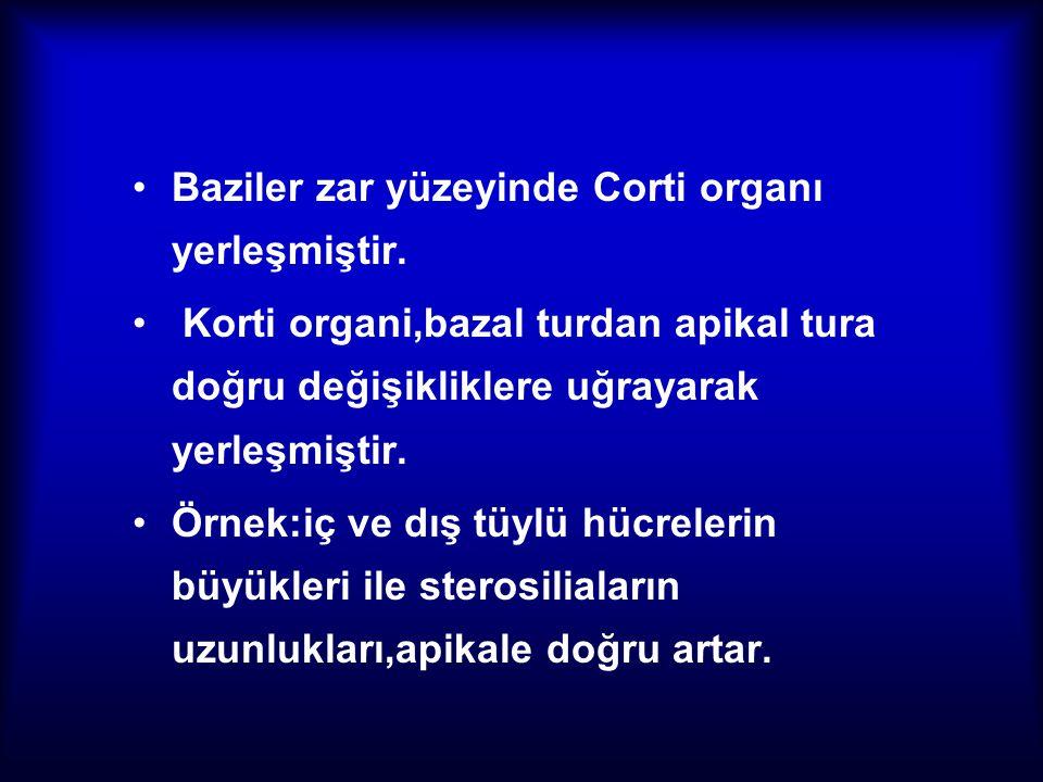 Baziler zar yüzeyinde Corti organı yerleşmiştir.