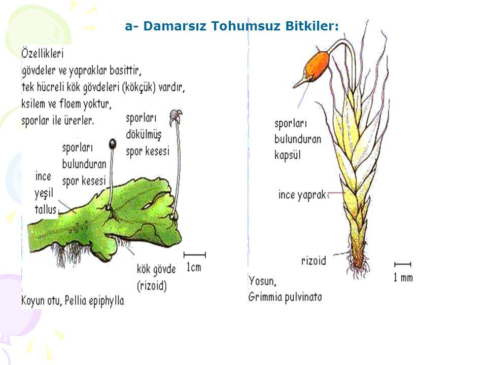 a- Damarsız Tohumsuz Bitkiler: