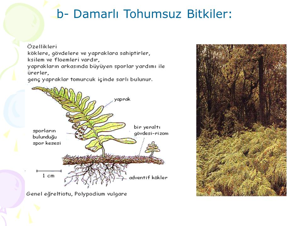 b- Damarlı Tohumsuz Bitkiler: