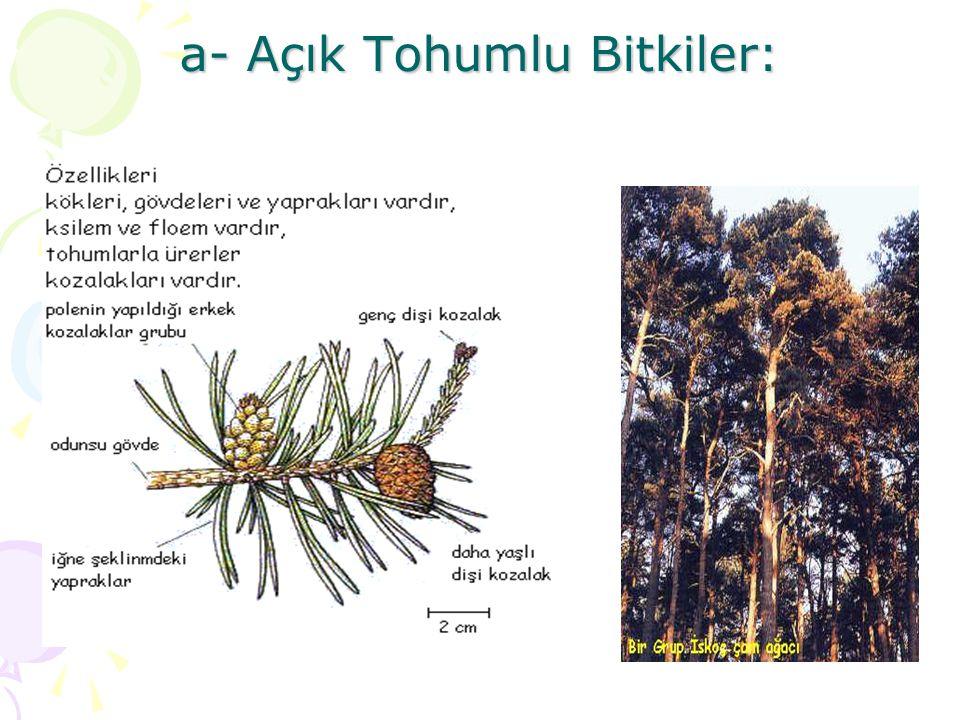 a- Açık Tohumlu Bitkiler: