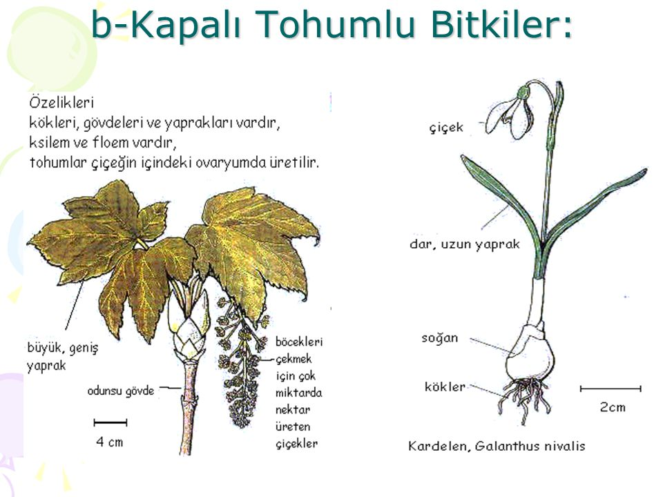 b-Kapalı Tohumlu Bitkiler: