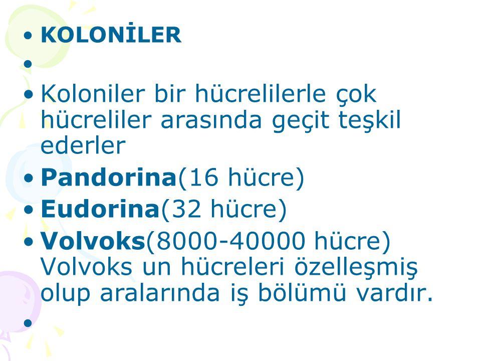 KOLONİLER Koloniler bir hücrelilerle çok hücreliler arasında geçit teşkil ederler. Pandorina(16 hücre)