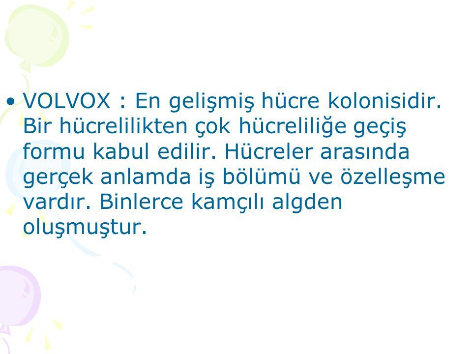 VOLVOX : En gelişmiş hücre kolonisidir