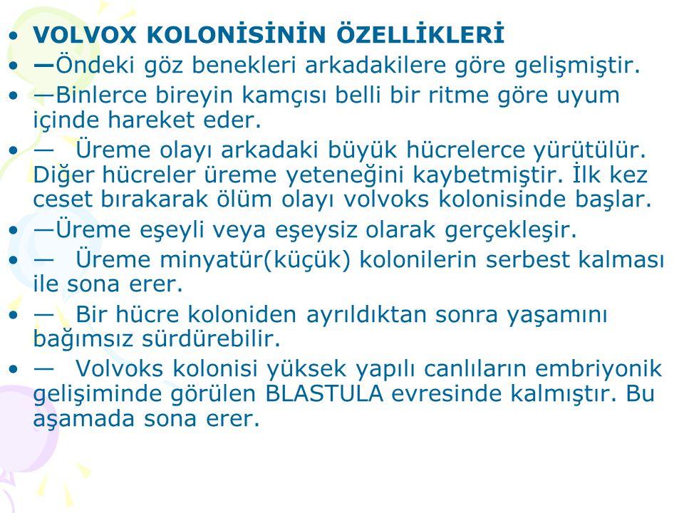 VOLVOX KOLONİSİNİN ÖZELLİKLERİ