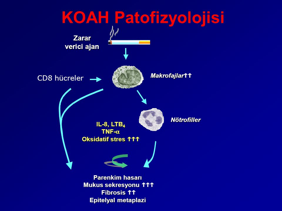 KOAH Patofizyolojisi Zarar verici ajan CD8 hücreler Makrofajlarhh