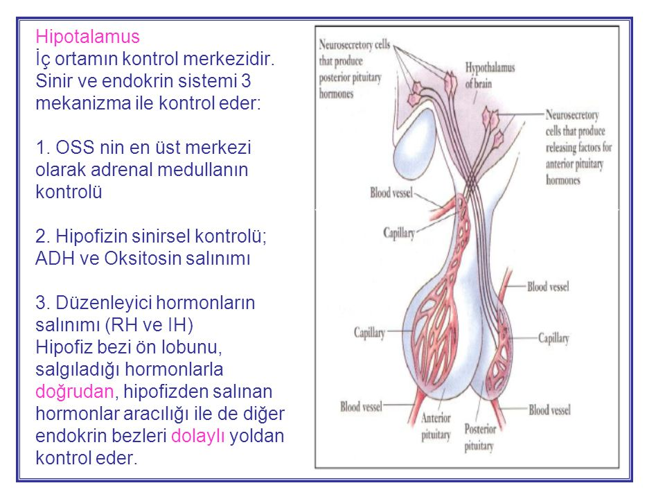 Hipotalamus İç ortamın kontrol merkezidir