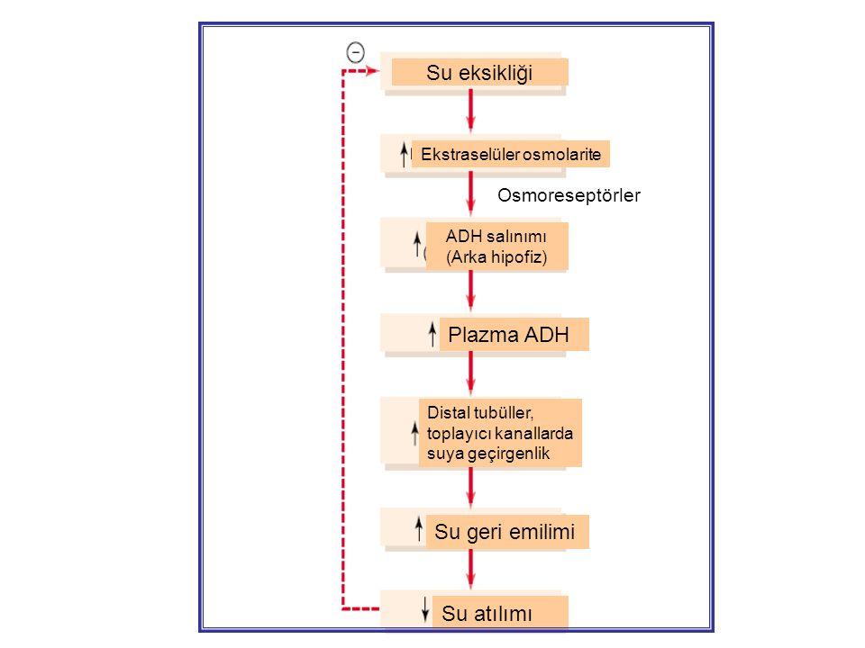 ADH salınımı (Arka hipofiz)