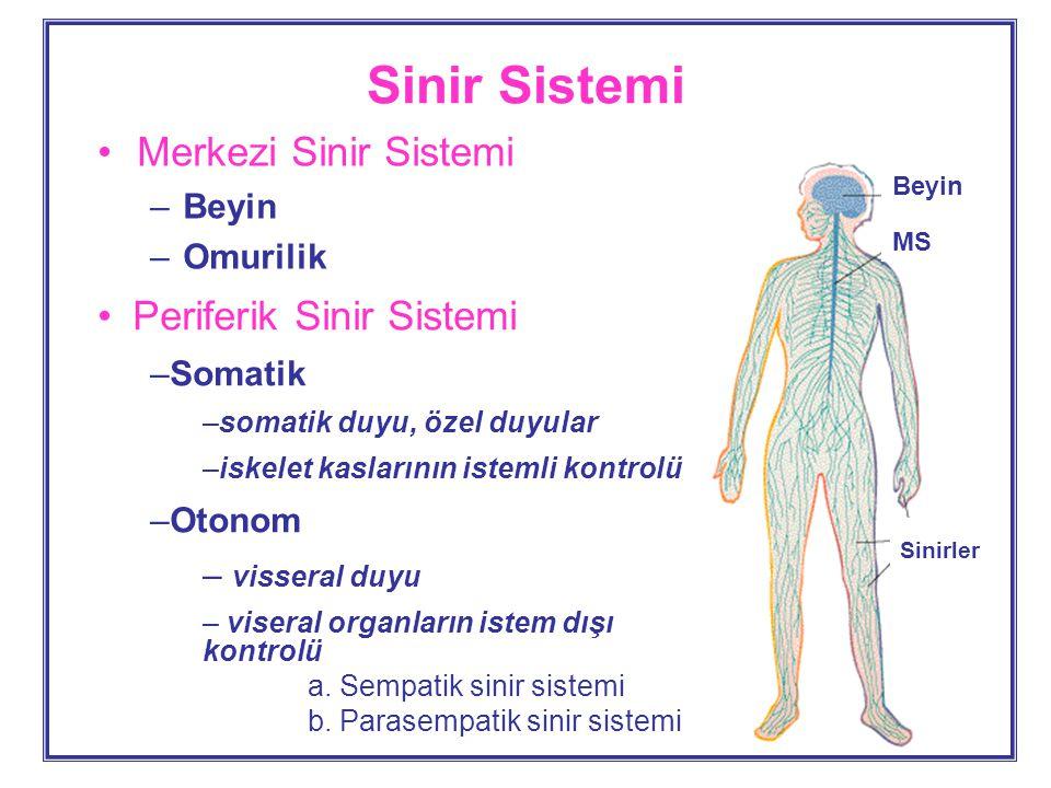 Sinir Sistemi Merkezi Sinir Sistemi Periferik Sinir Sistemi Beyin