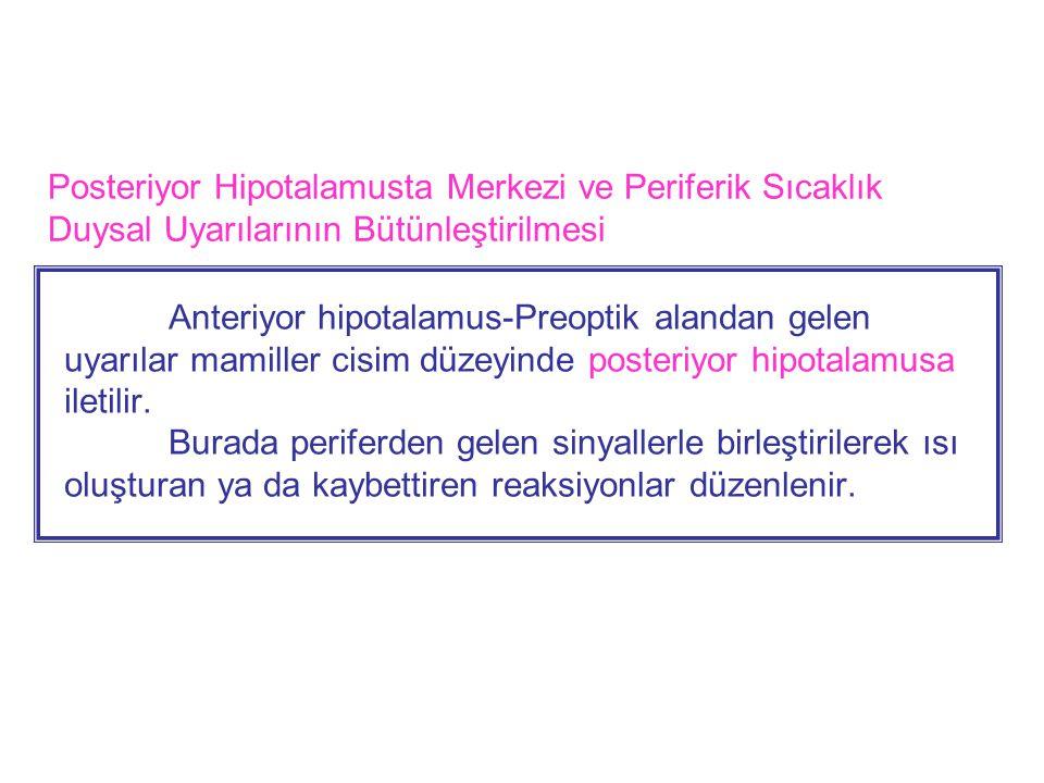 Posteriyor Hipotalamusta Merkezi ve Periferik Sıcaklık Duysal Uyarılarının Bütünleştirilmesi