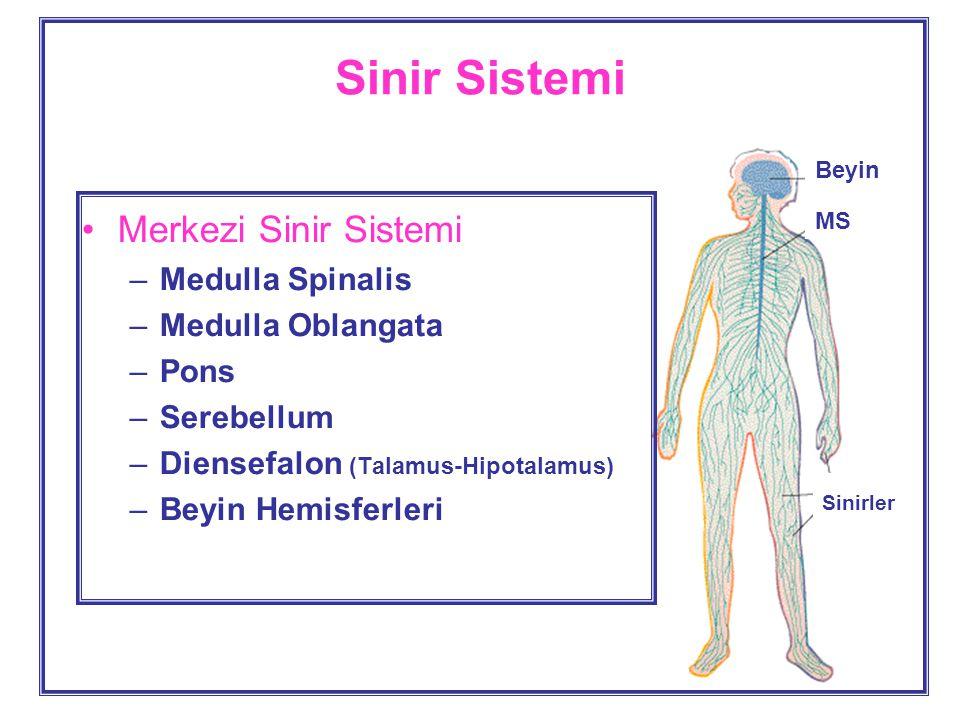 Sinir Sistemi Merkezi Sinir Sistemi Medulla Spinalis Medulla Oblangata