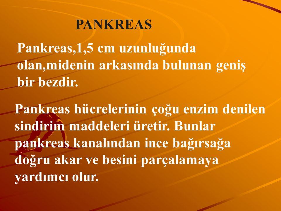 PANKREAS Pankreas,1,5 cm uzunluğunda olan,midenin arkasında bulunan geniş bir bezdir.