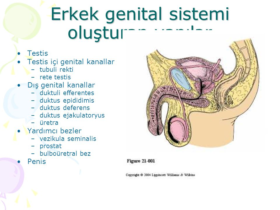Erkek genital sistemi oluşturan yapılar