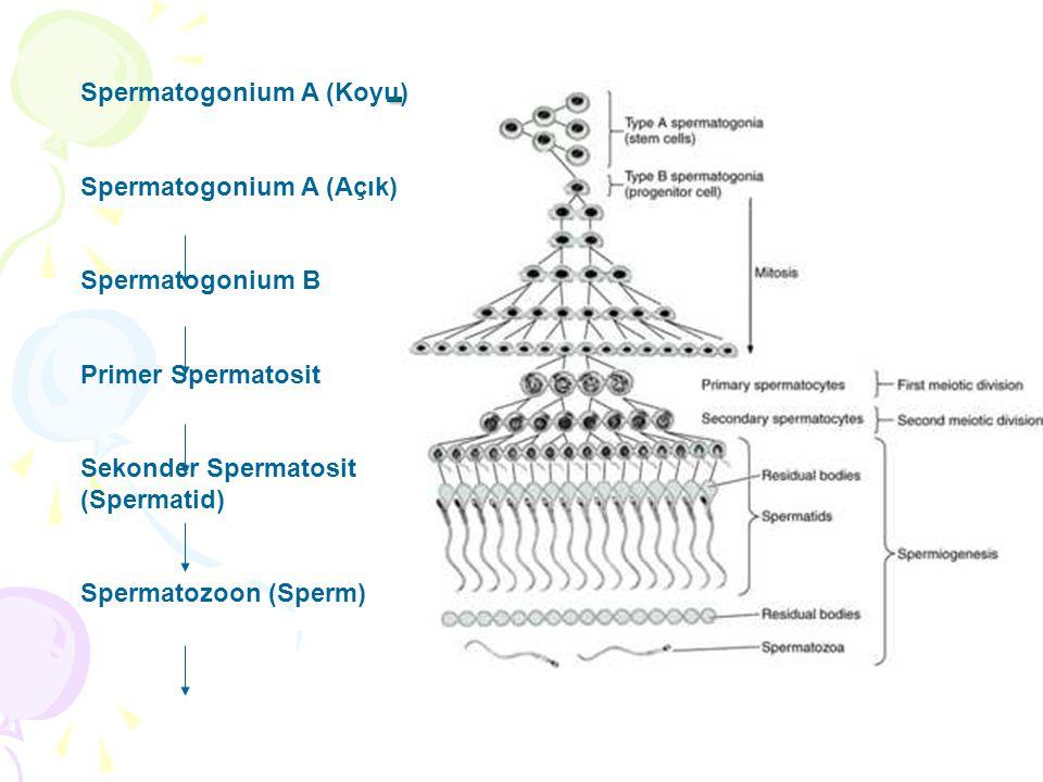 Testisler Spermatogonium A (Koyu) Spermatogonium A (Açık)