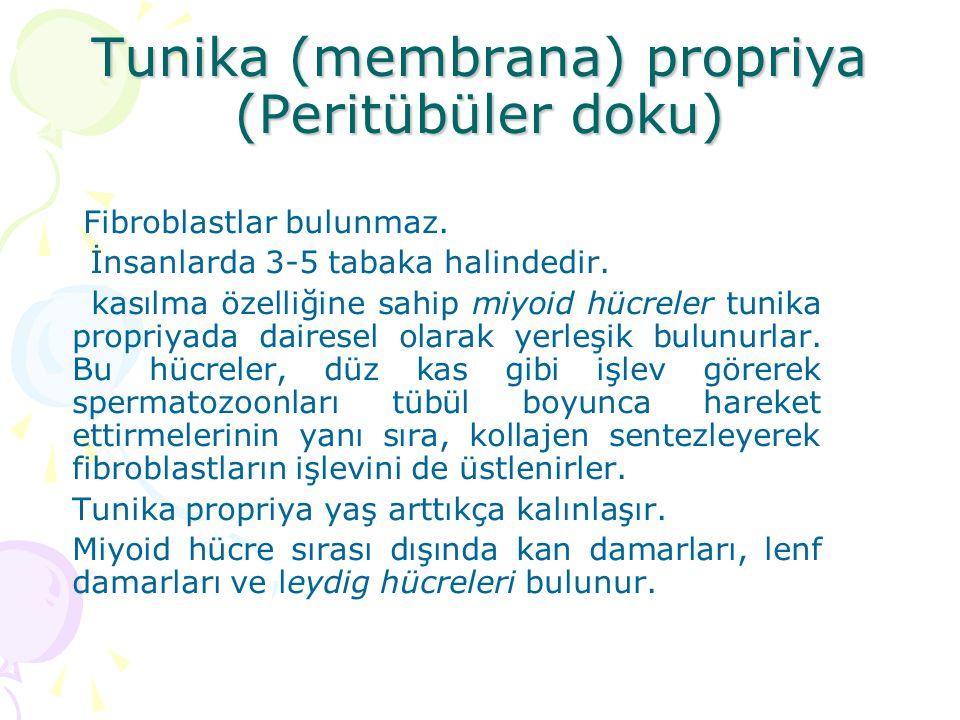 Tunika (membrana) propriya (Peritübüler doku)