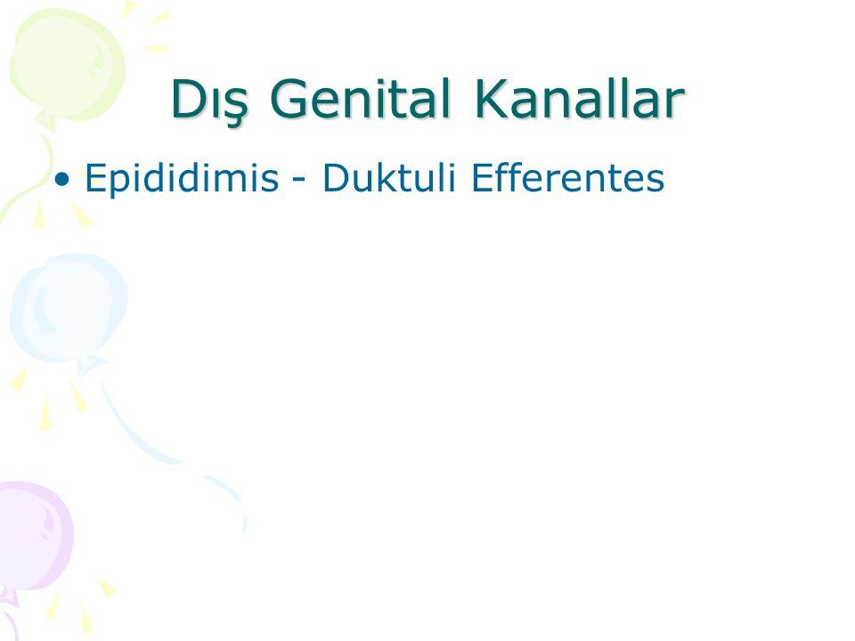 Dış Genital Kanallar Epididimis - Duktuli Efferentes