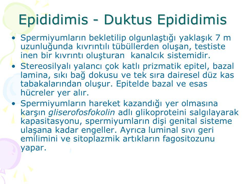 Epididimis - Duktus Epididimis