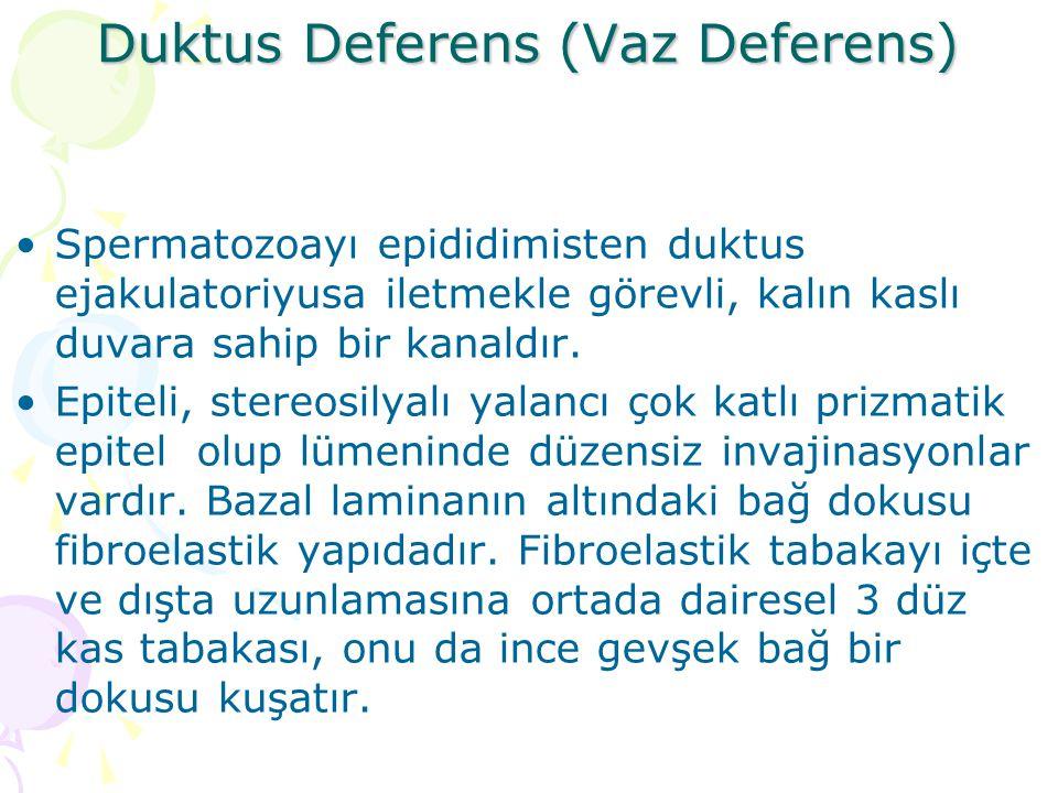 Duktus Deferens (Vaz Deferens)