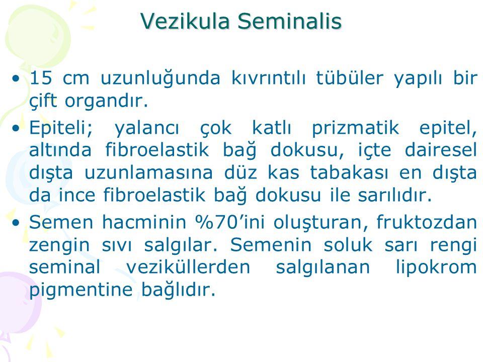 Vezikula Seminalis 15 cm uzunluğunda kıvrıntılı tübüler yapılı bir çift organdır.