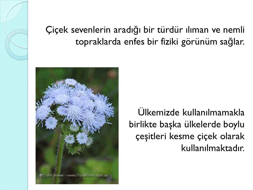 Çiçek sevenlerin aradığı bir türdür ılıman ve nemli topraklarda enfes bir fiziki görünüm sağlar.