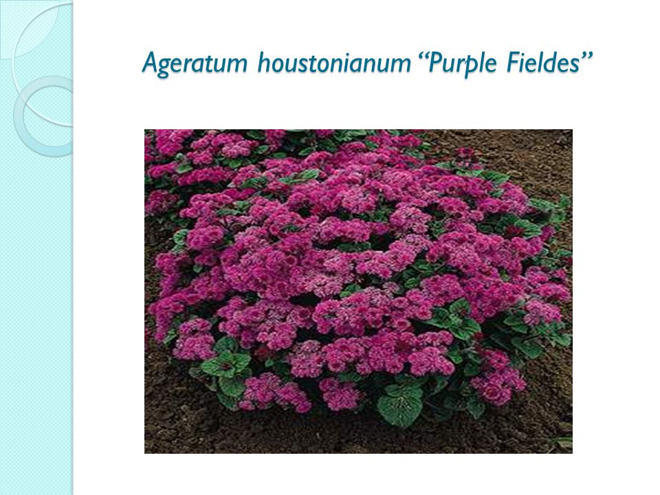 Ageratum houstonianum Purple Fieldes