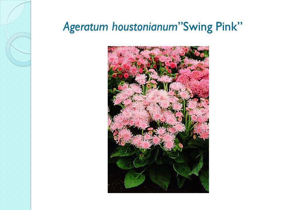 Ageratum houstonianum Swing Pink