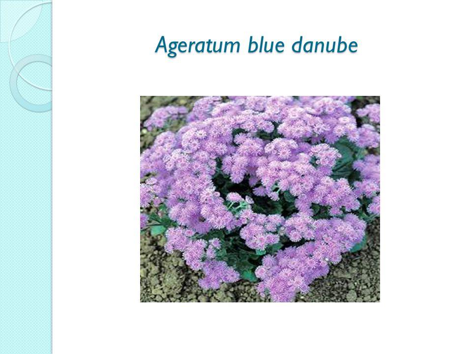 Ageratum blue danube