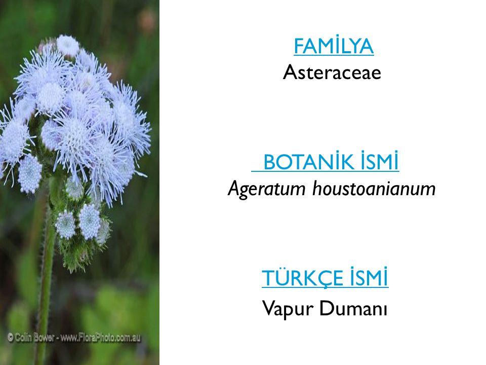FAMİLYA Asteraceae BOTANİK İSMİ Ageratum houstoanianum TÜRKÇE İSMİ Vapur Dumanı