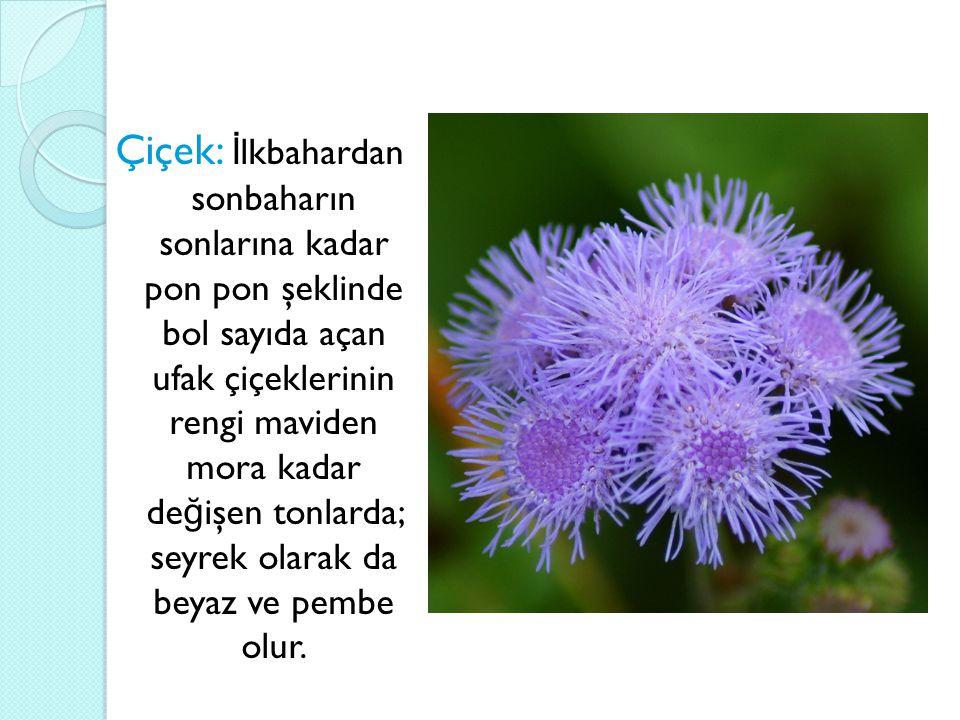 Çiçek: İlkbahardan sonbaharın sonlarına kadar pon pon şeklinde bol sayıda açan ufak çiçeklerinin rengi maviden mora kadar değişen tonlarda; seyrek olarak da beyaz ve pembe olur.