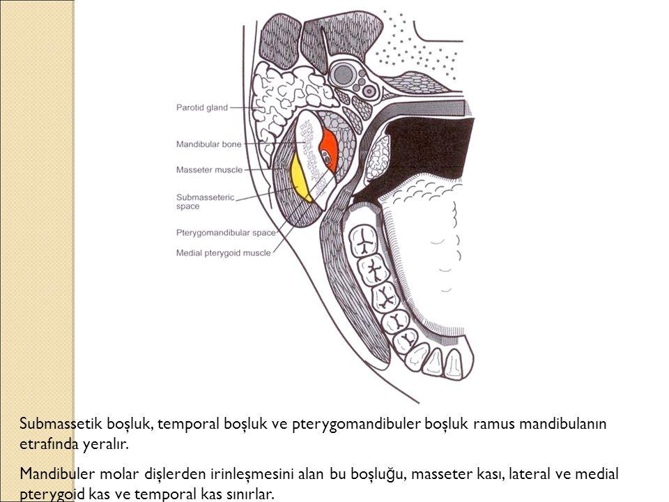 Submassetik boşluk, temporal boşluk ve pterygomandibuler boşluk ramus mandibulanın etrafında yeralır.