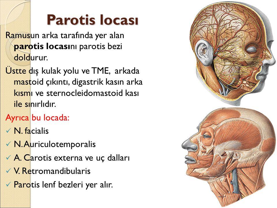 Parotis locası Ramusun arka tarafında yer alan parotis locasını parotis bezi doldurur.