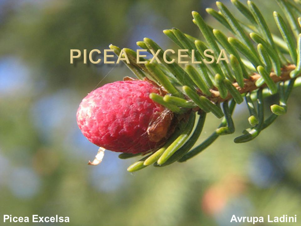 Picea Excelsa Picea Excelsa Avrupa Ladini