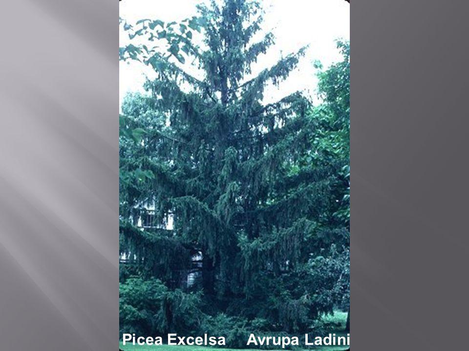 Picea Excelsa Avrupa Ladini