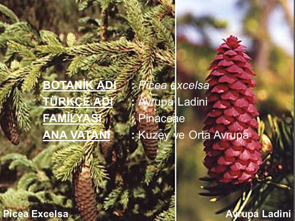 BOTANİK ADI : Picea excelsa TÜRKÇE ADI : Avrupa Ladini FAMİLYASI : Pinaceae ANA VATANI : Kuzey ve Orta Avrupa