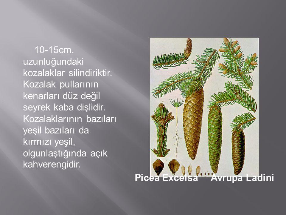 10-15cm. uzunluğundaki kozalaklar silindiriktir