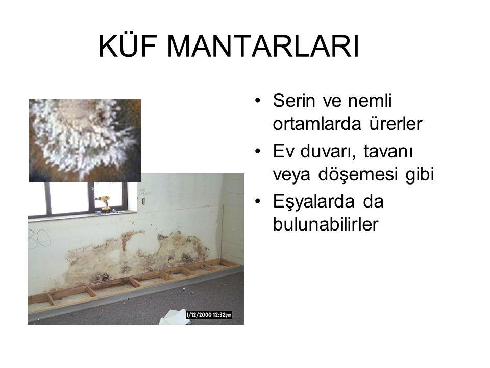 KÜF MANTARLARI Serin ve nemli ortamlarda ürerler