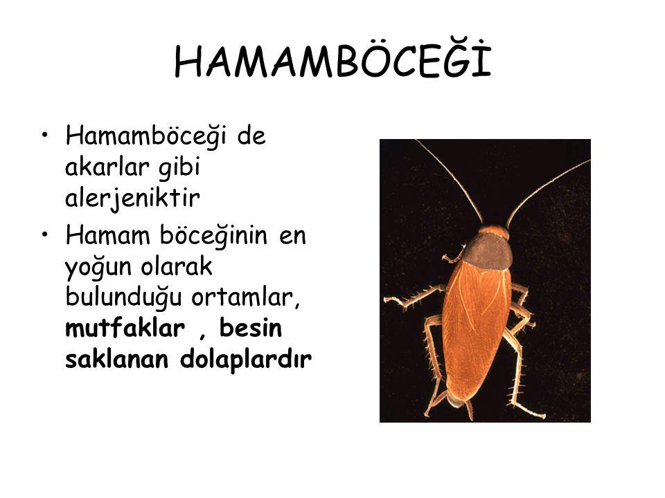 HAMAMBÖCEĞİ Hamamböceği de akarlar gibi alerjeniktir
