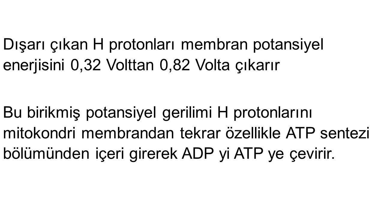 Dışarı çıkan H protonları membran potansiyel enerjisini 0,32 Volttan 0,82 Volta çıkarır