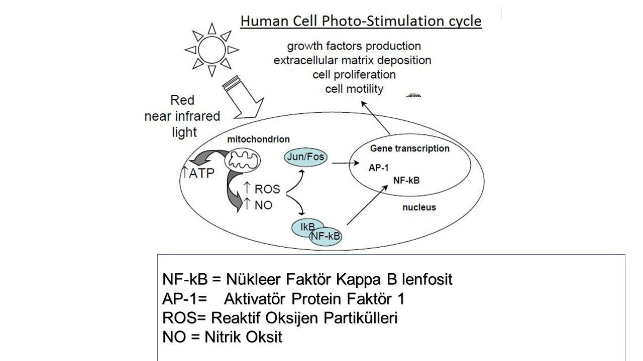 NF-kB = Nükleer Faktör Kappa B lenfosit