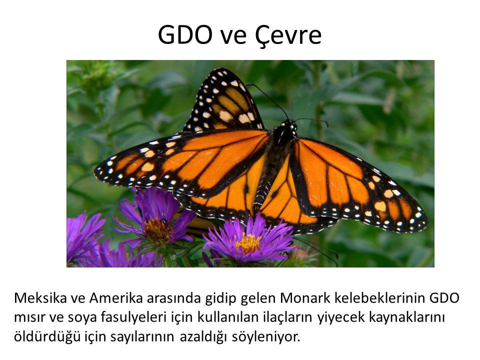 GDO ve Çevre Meksika ve Amerika arasında gidip gelen Monark kelebeklerinin GDO.