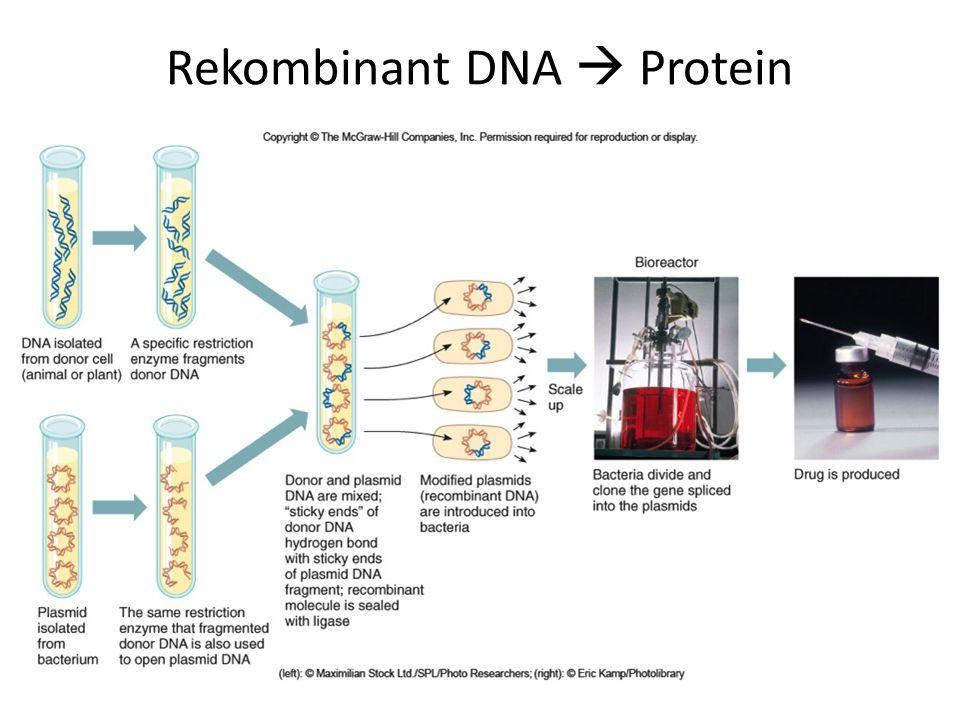 Rekombinant DNA  Protein