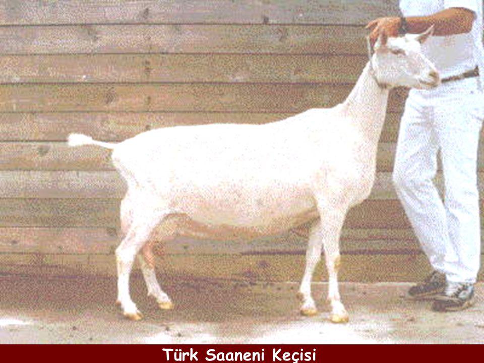 Türk Saaneni Keçisi