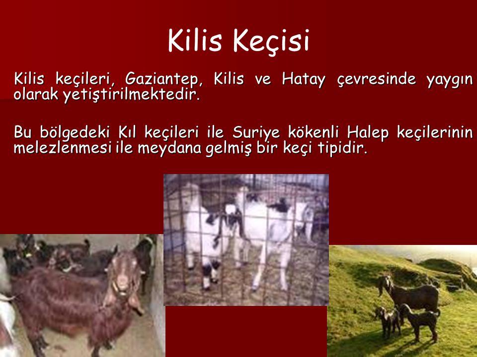 Kilis Keçisi Kilis keçileri, Gaziantep, Kilis ve Hatay çevresinde yaygın olarak yetiştirilmektedir.