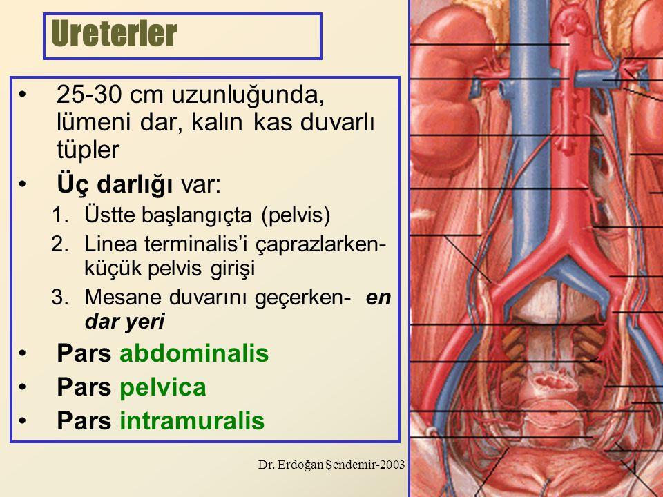 Ureterler 25-30 cm uzunluğunda, lümeni dar, kalın kas duvarlı tüpler