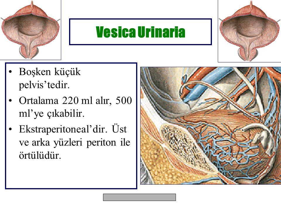 Vesica Urinaria Boşken küçük pelvis'tedir.